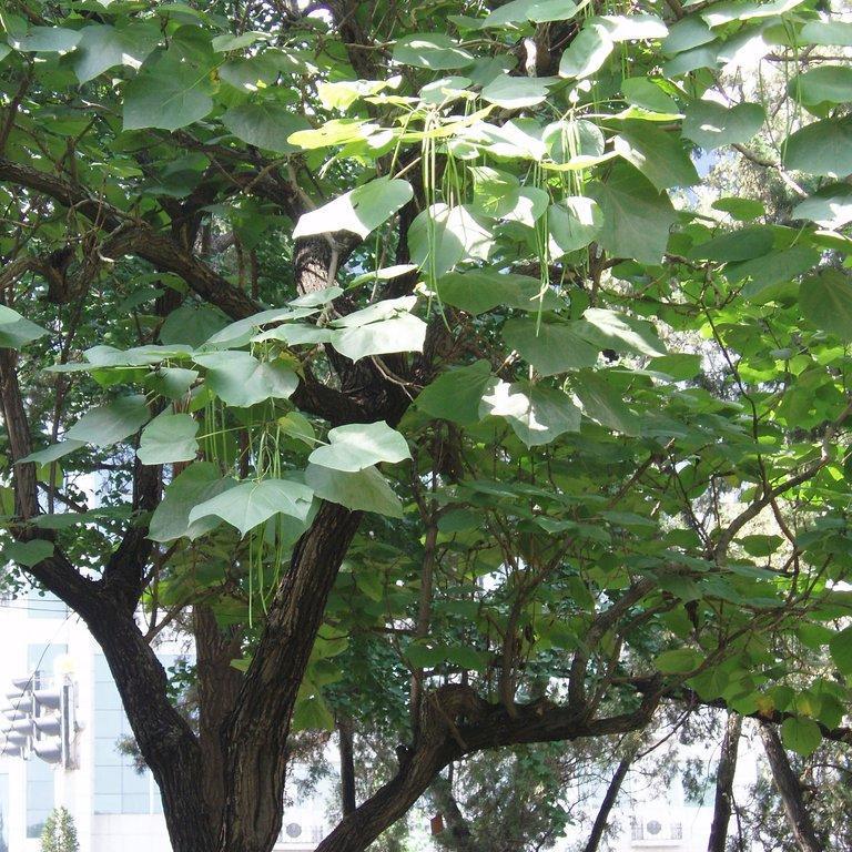 Catalpa planter et tailler ooreka - Taille des orchidees apres floraison ...