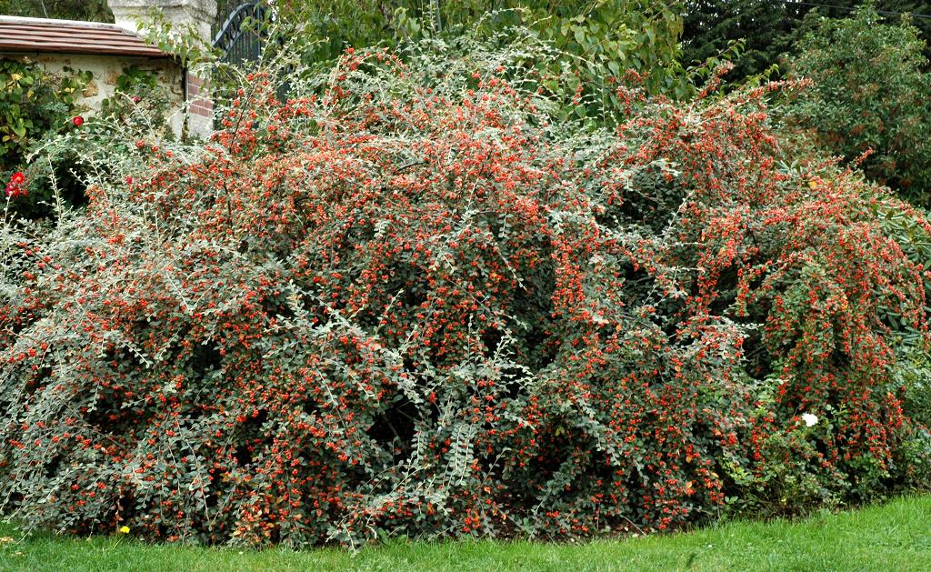 Cotoneaster planter et tailler ooreka - Arbuste a baies rouges ...