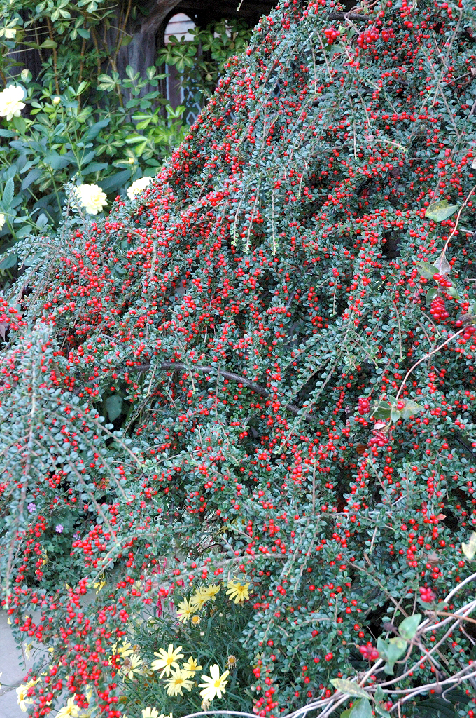 Cotoneaster planter et tailler ooreka - Quand tailler les rosiers buisson ...