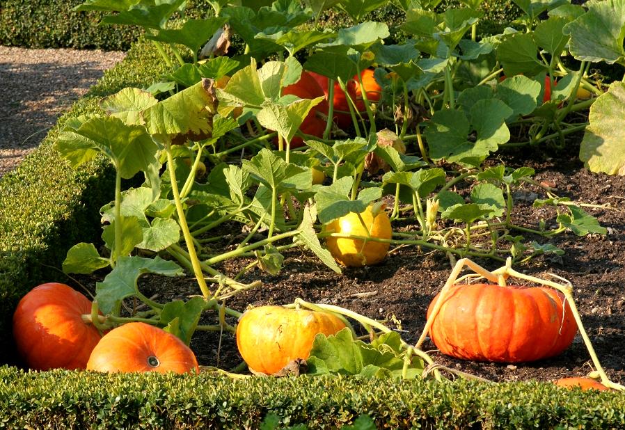 Potiron : planter et tailler - Ooreka