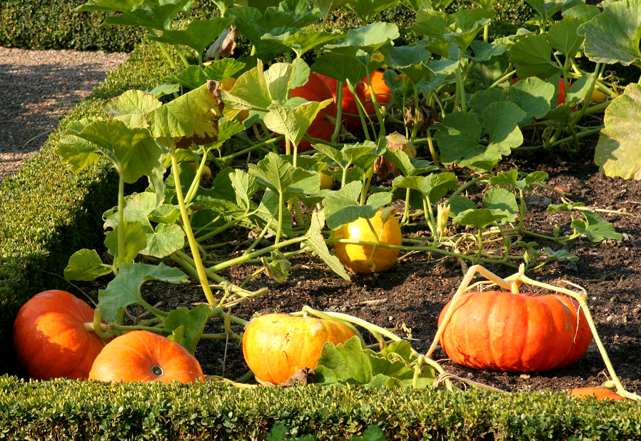comment planter courge
