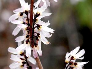 Culture et entretien du forsythia blanc