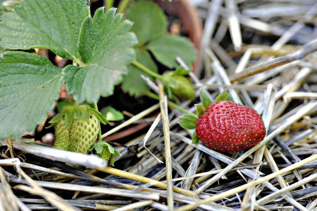 fraise des bois   planter et cultiver  u2013 ooreka