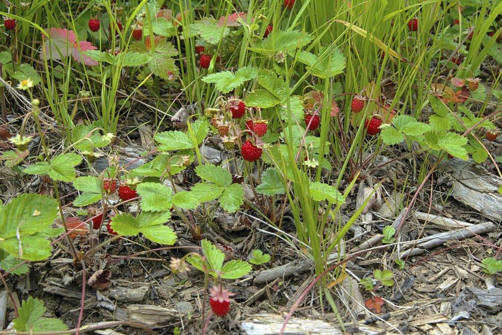 Fraise Des Bois : Planter Et Cultiver – Ooreka