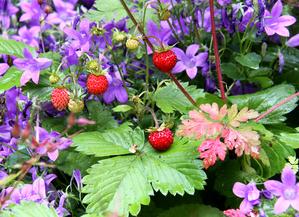 Culture et entretien de la fraise des bois