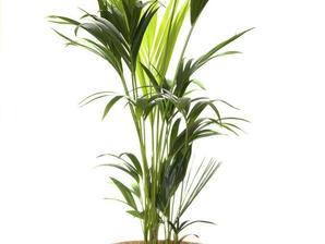 Plantation du kentia