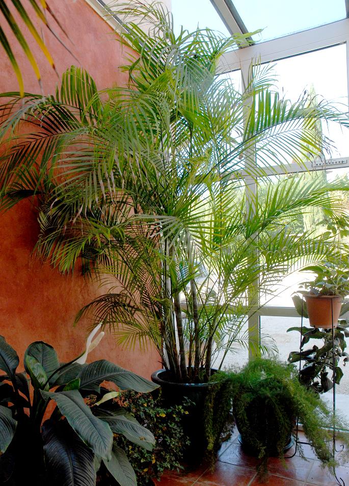 palmier kentia xxl