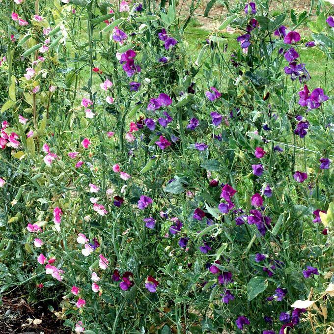 Espèces annuelles Pois de senteur (Lathyrus odoratus)