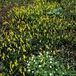 Narcisse cyclamen (<em>Narcissus cyclamineus</em>)
