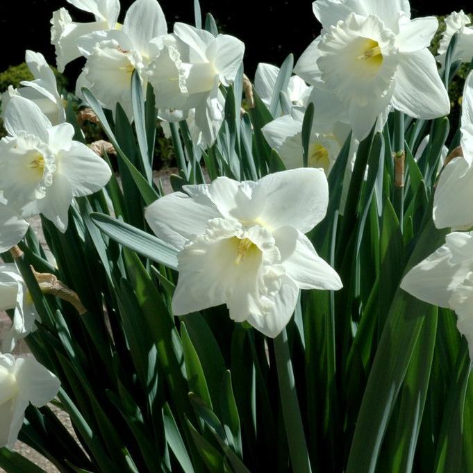Narcisses horticoles Narcisse trompette