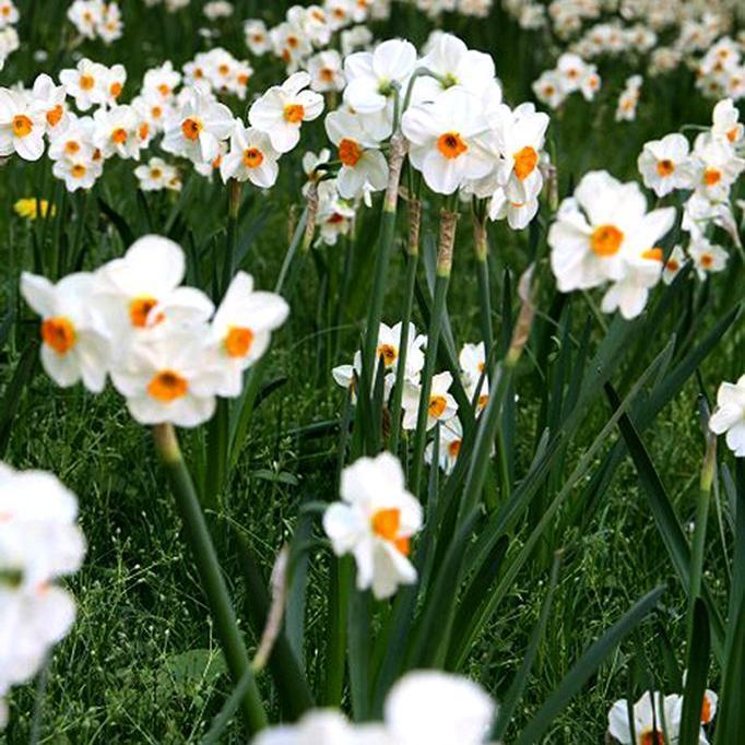 Narcisse botanique Narcisse des poètes (Narcissus poeticus)