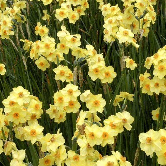 Narcisses horticoles Narcissus tazetta