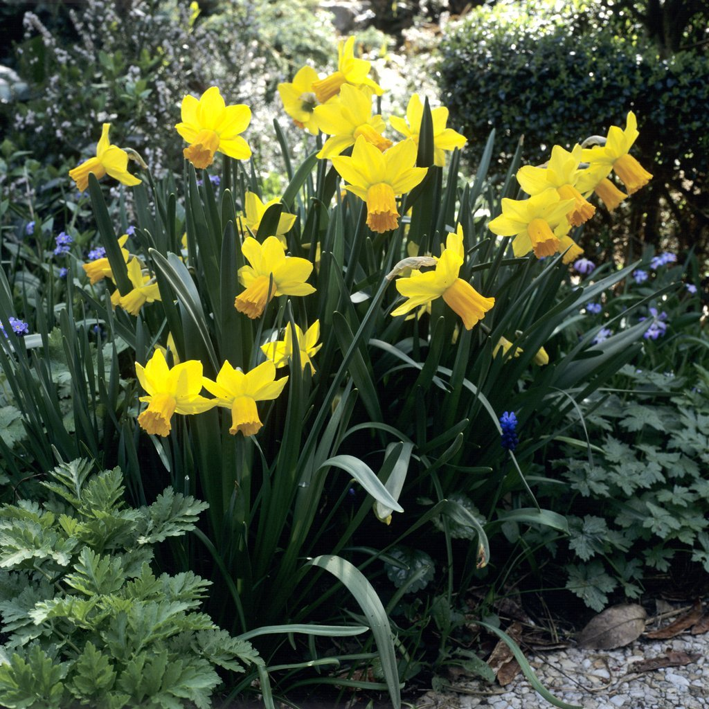 Narcisses horticoles Narcissus triandus