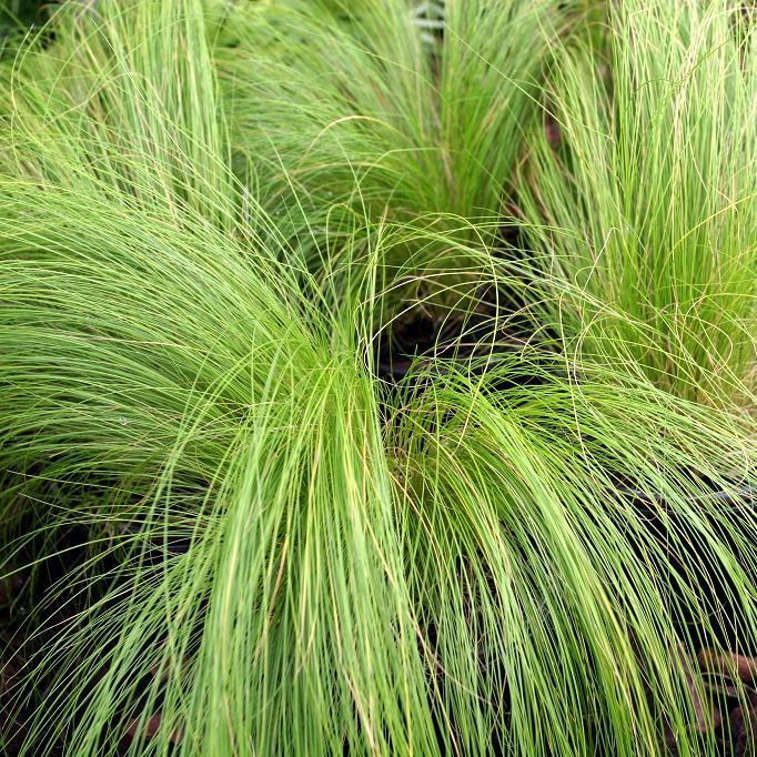 Espèces persistantes Stipe cheveux d'ange (Stipa tenuissima)