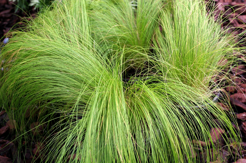Stipa planter et cultiver ooreka for Plante haute en pot