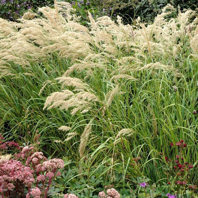 Espèces caduques Stipe argentée (Stipa calamagrostis)