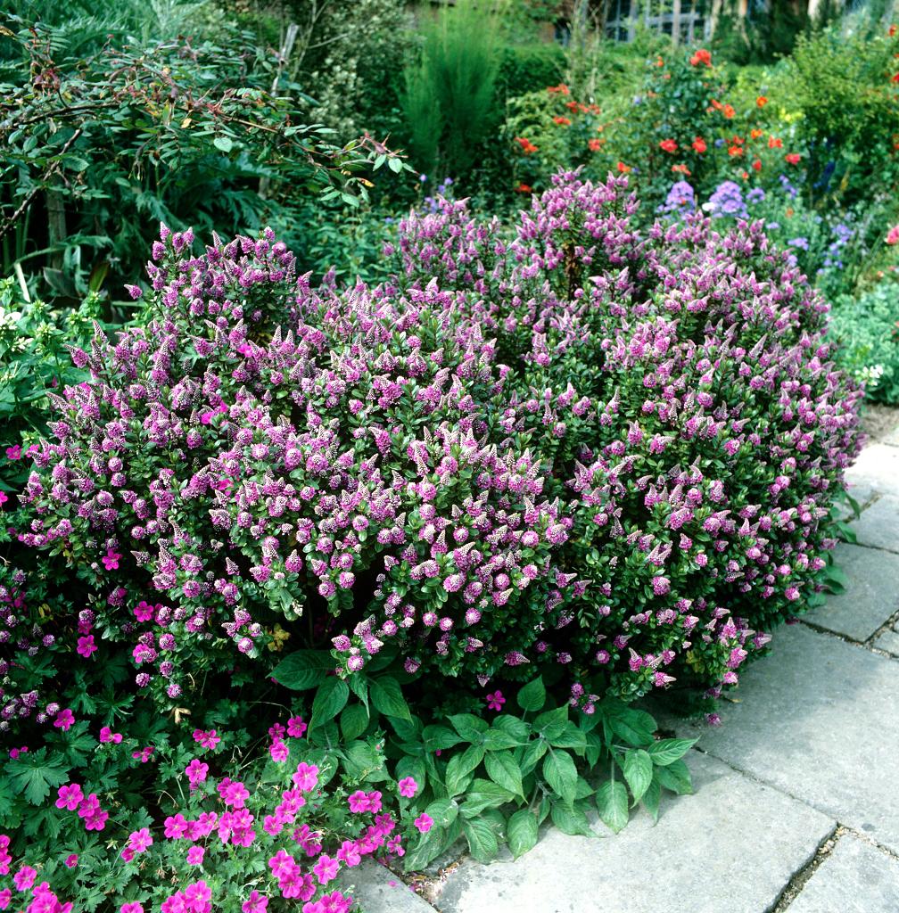 plante verte veronique