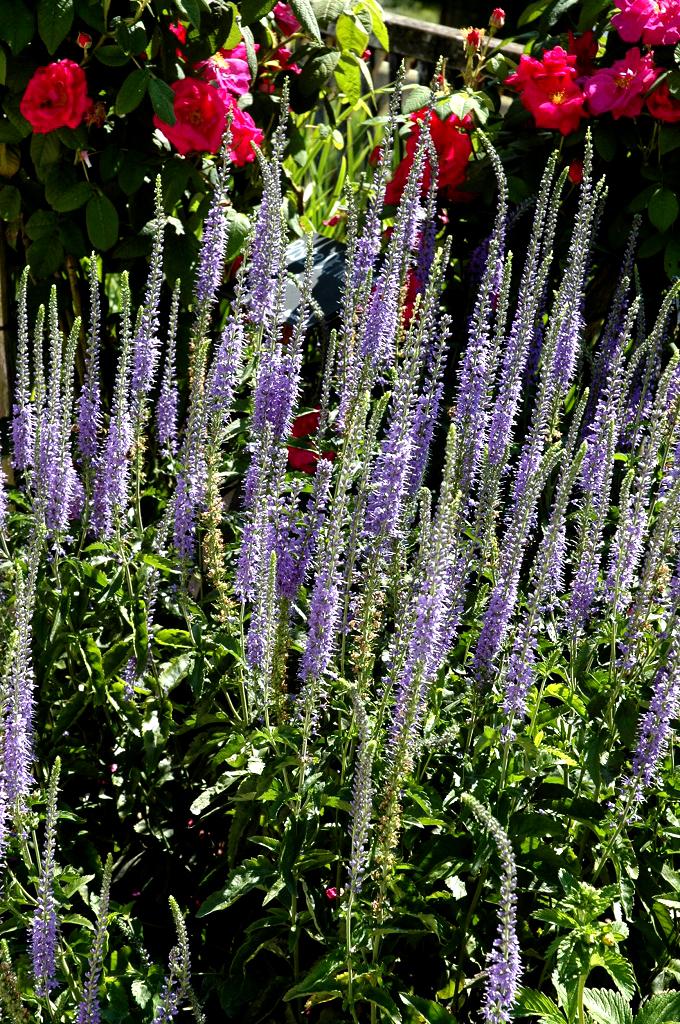 v u00e9ronique   planter et cultiver  u2013 ooreka