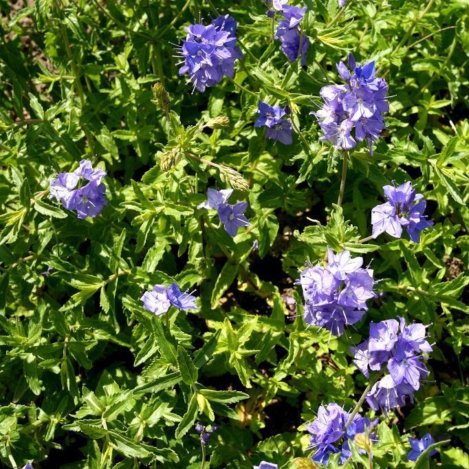 Plante herbacée vivace Veronica austriaca 'Ionian Skies'
