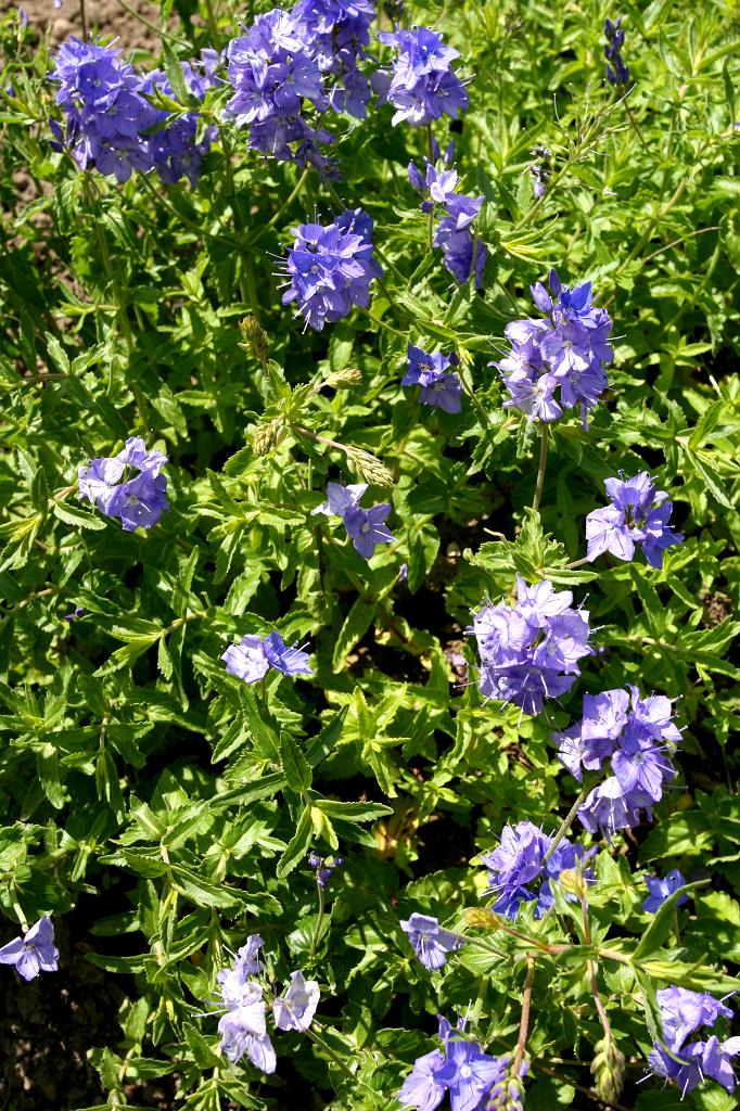 V ronique planter et cultiver ooreka for Plante verte haute exterieur