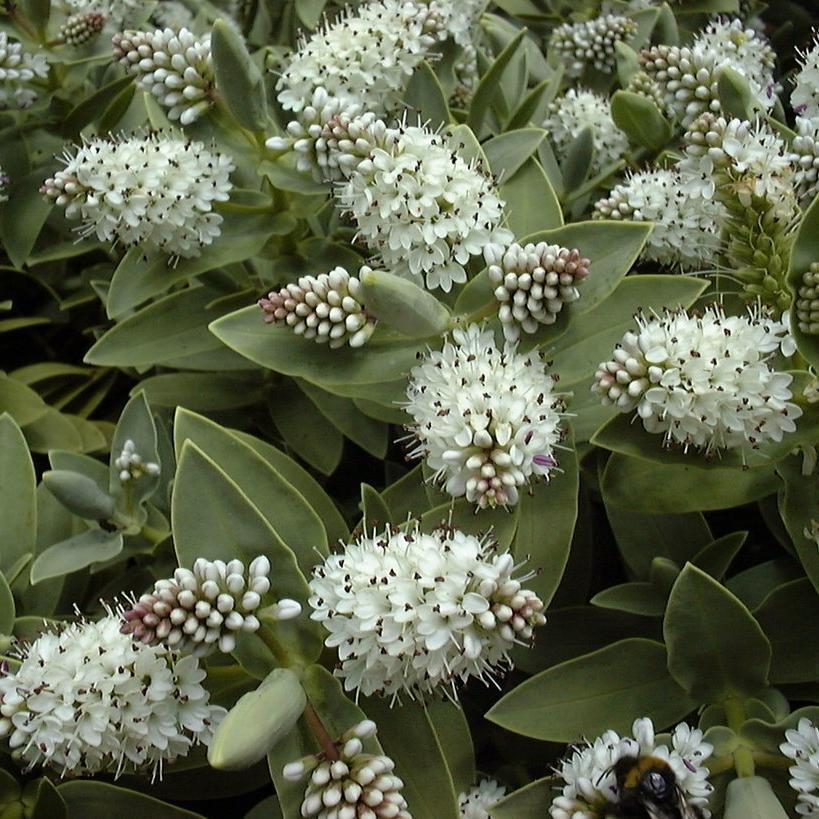 Plante vivace arbustive Hebe albicans 'Red Edge'