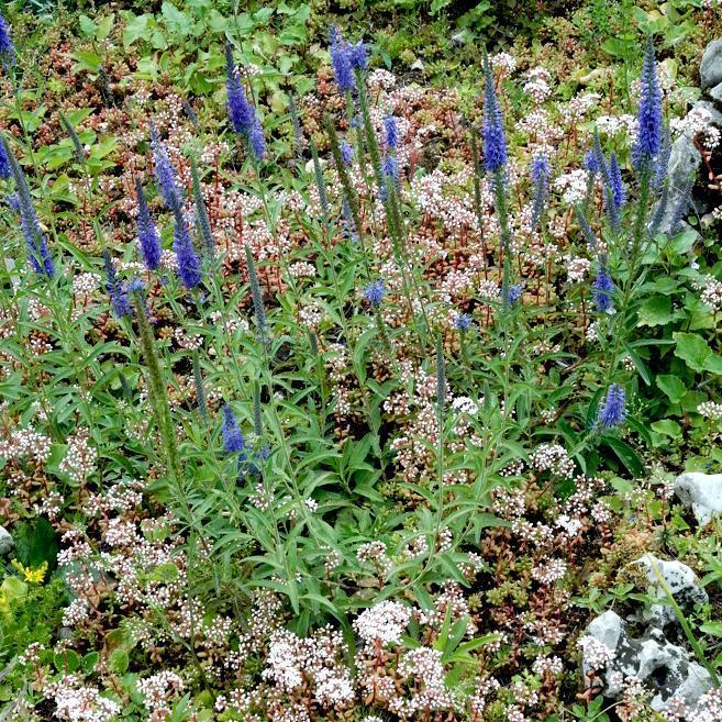 Plante herbacée vivace Veronica spicata (véronique en épi) Espèce type
