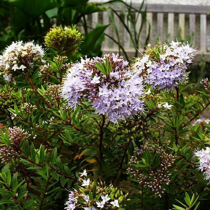 Plante vivace arbustive Hebe diosmifolia