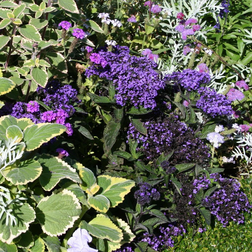 Variétés de petite taille Heliotropium arborescens 'Princess Marina'