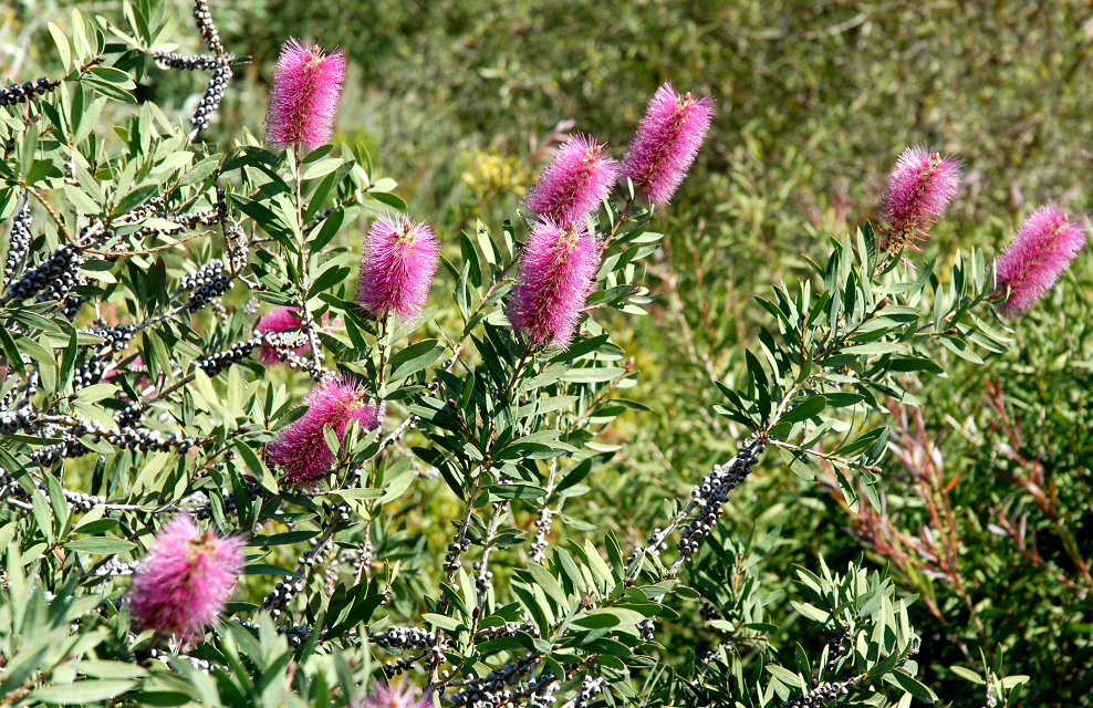 Callistemon planter et tailler ooreka for Plante 4 images 1 mot