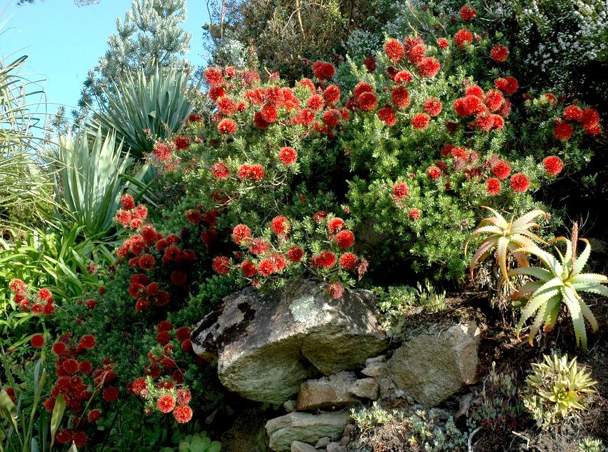 foto de Callistemon : planter et tailler Ooreka