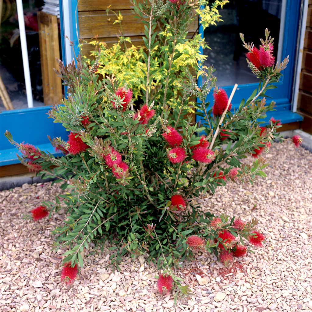 Callistemon planter et tailler ooreka - Les plus beaux arbustes persistants ...