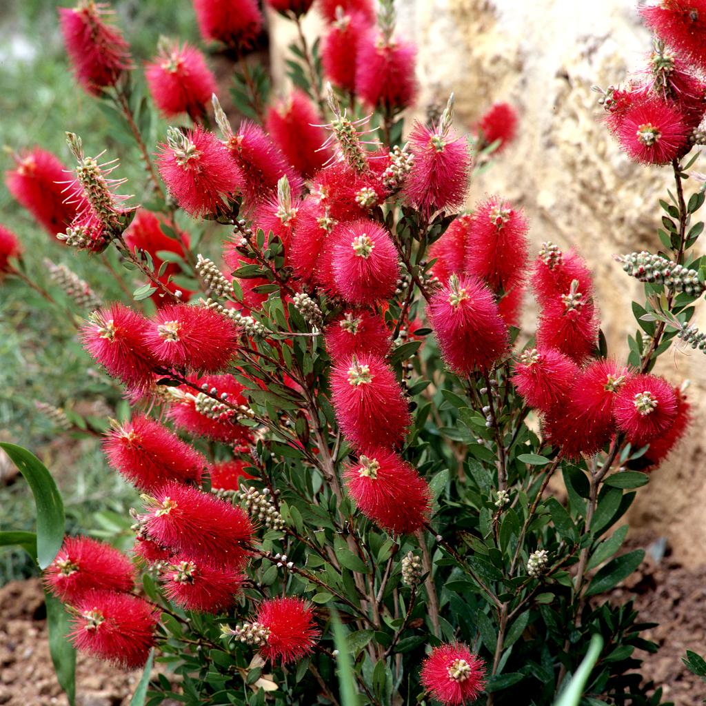 Callistemon planter et tailler ooreka for Plante plumeau rouge