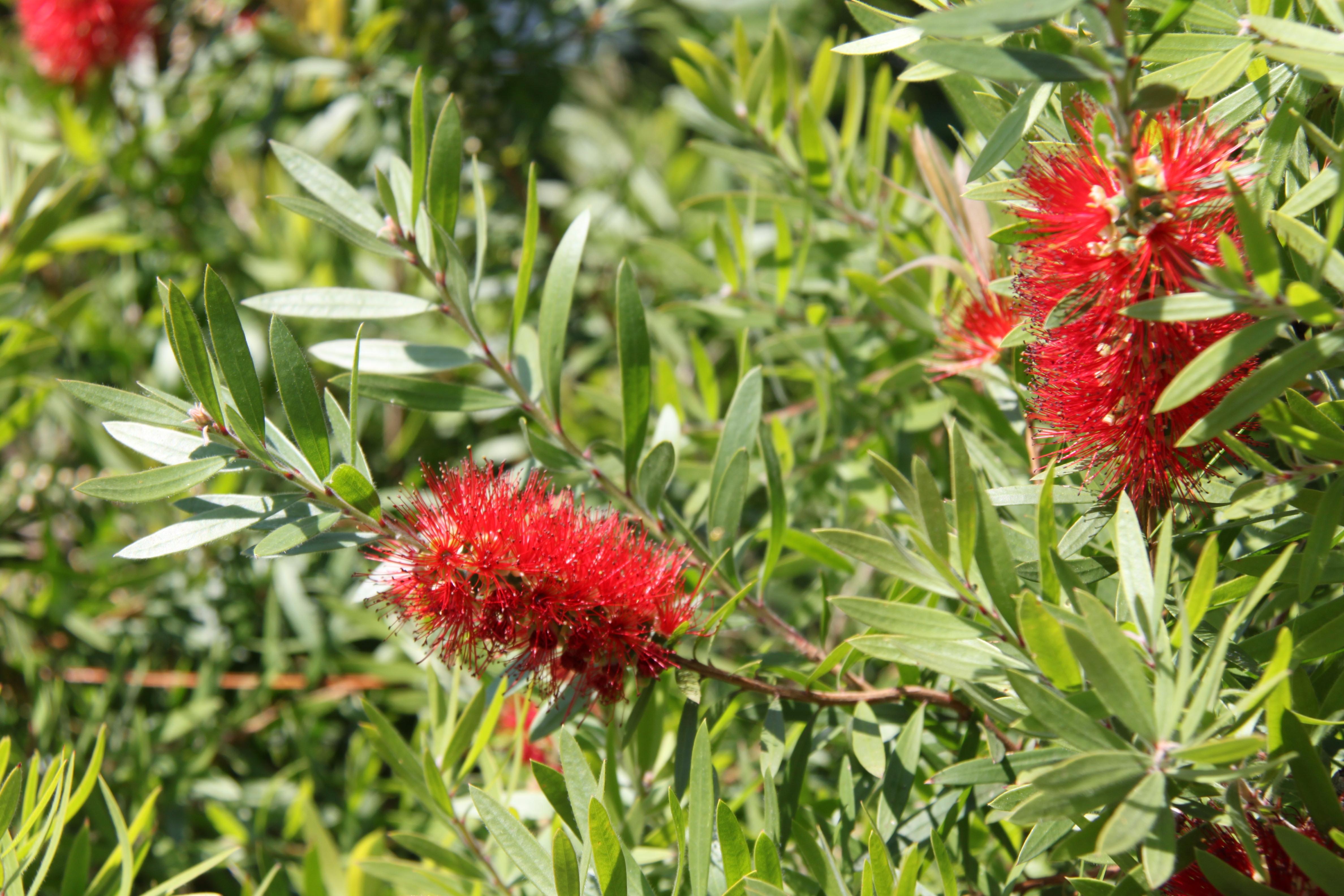 Callistemon planter et tailler ooreka for Petites plantes vertes