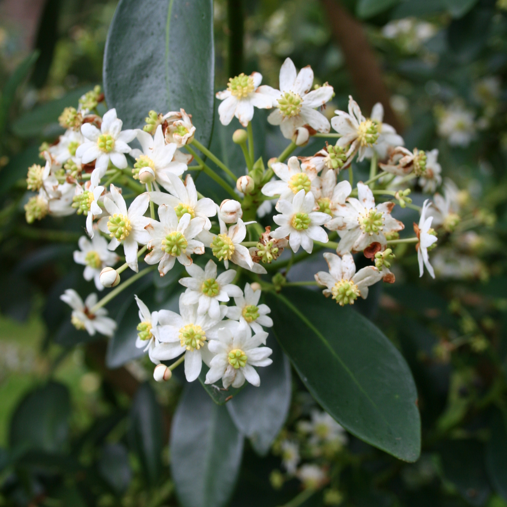 Arbre ou grand arbuste Drimys winteri var. andina