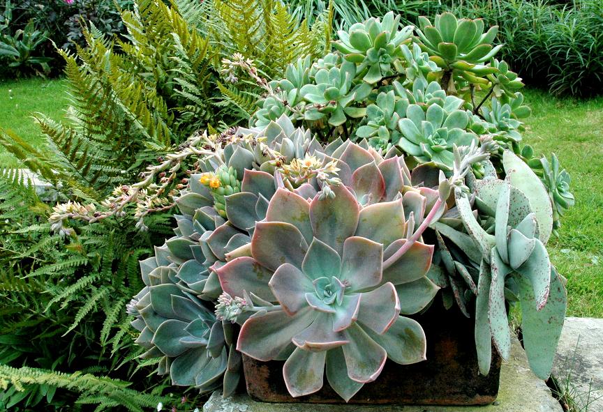 Echeveria planter et cultiver ooreka - Plantes d exterieur resistant au froid ...