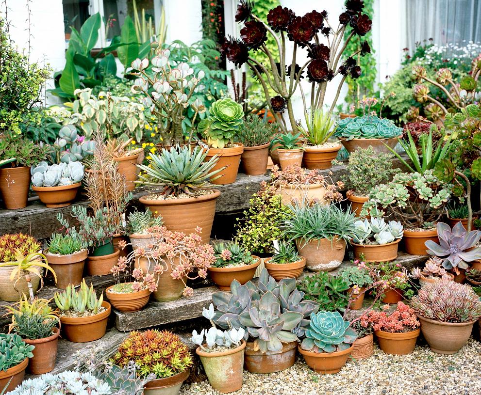 Echeveria planter et cultiver ooreka - Quelle terre pour hortensia ...