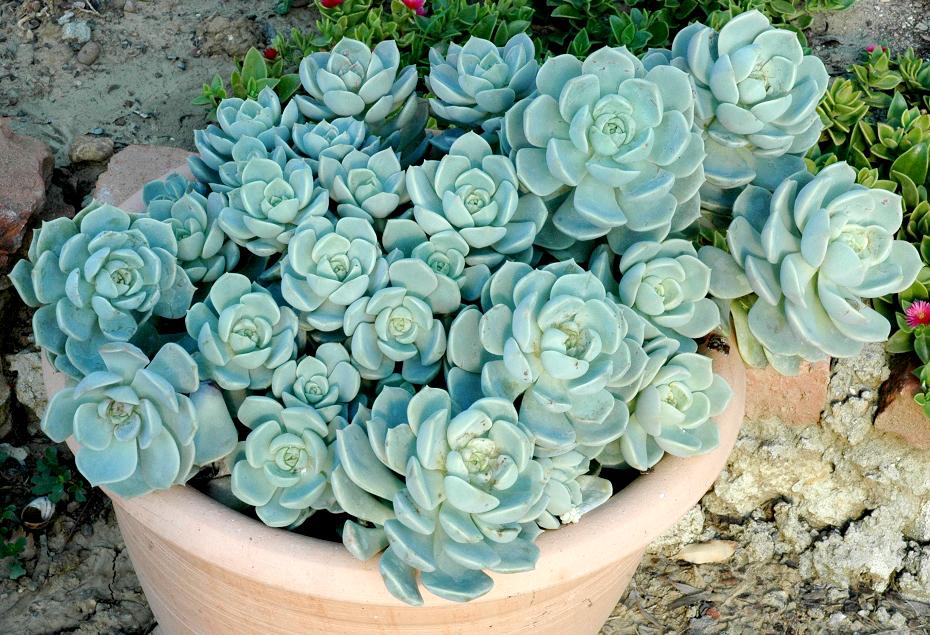 Echeveria planter et cultiver ooreka for Artichaut plante grasse
