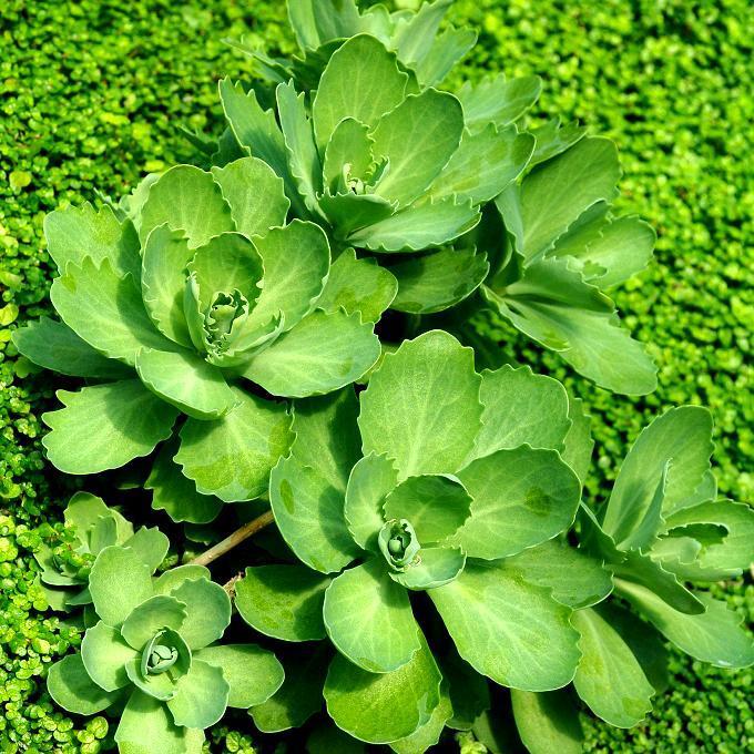 Echeveria gibbiflora ou grandifolia ou campanulata