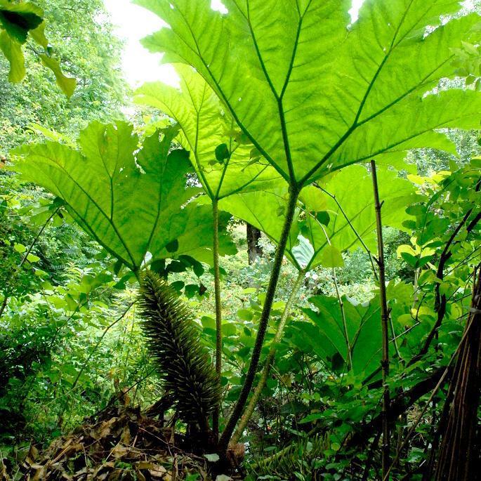 Espèce très fréquemment proposée à la vente Gunnère du Brésil (Gunnera manicata ou Gunnera brasiliensis)