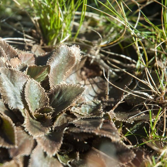 Espèces plus rarement proposées à la vente Gunnère de Hamilton (Gunnera hamiltonii)