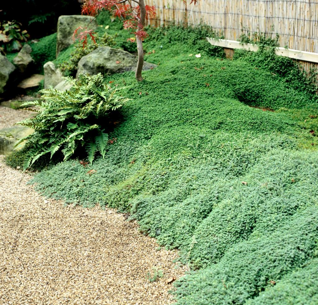 Helxine planter et entretenir ooreka for Plante massif sans entretien