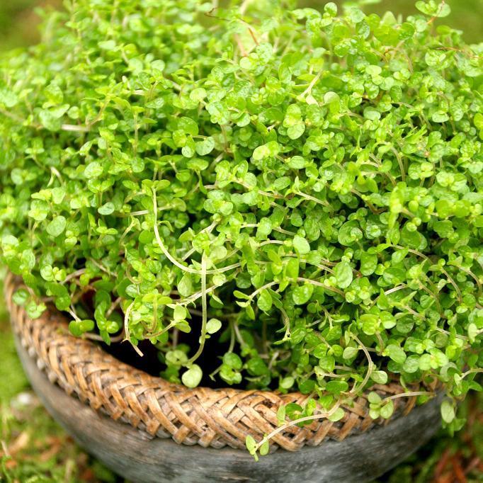 Variété à feuillage panaché Helxine panachée (Soleirolia soleirolii 'Variegata', encore appelée 'Silver Queen')