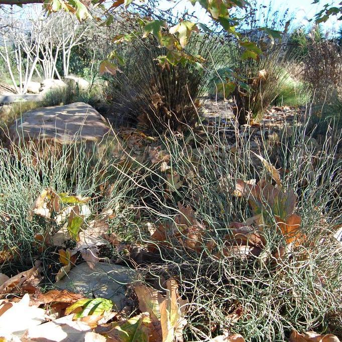 Jonc des jardiniers, jonc bleu (Juncus inflexus, syn. Juncus glaucus) 'Afro'