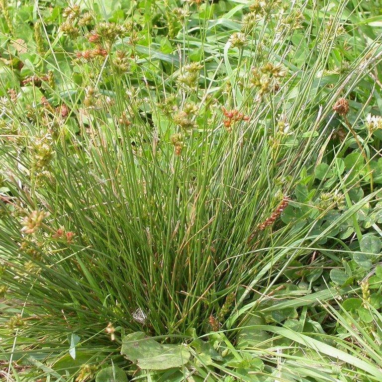 Jonc grêle (Juncus tenuis) Espèce type