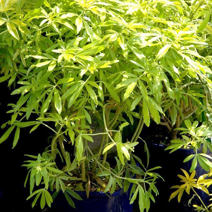 Cultivars Choisya ternata GOLDFINGER® 'Limo'