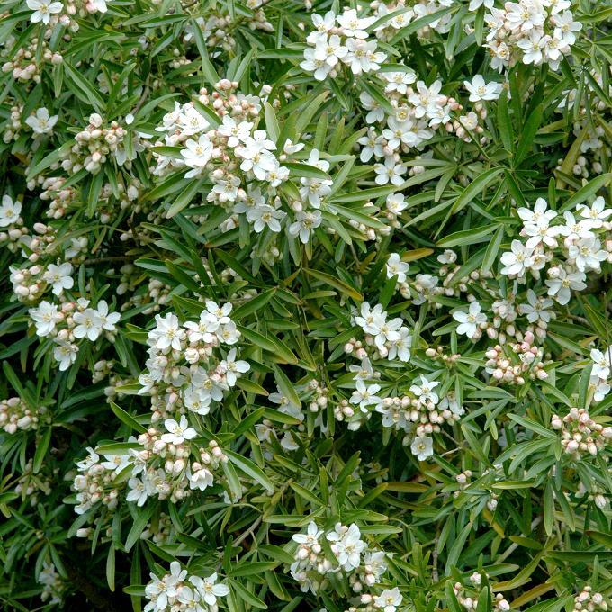 Espèces types Oranger du Mexique (Choisya ternata, syn. Choisya grandiflora)