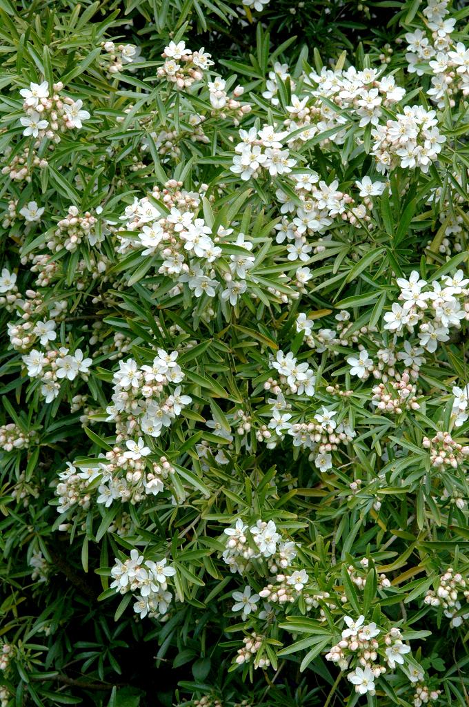 Oranger du mexique planter et tailler ooreka - Poinsettia perd ses feuilles ...