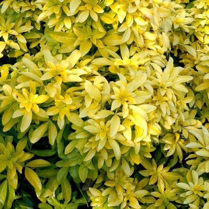 Cultivars Choisya ternata SUNDANCE® 'Lich'
