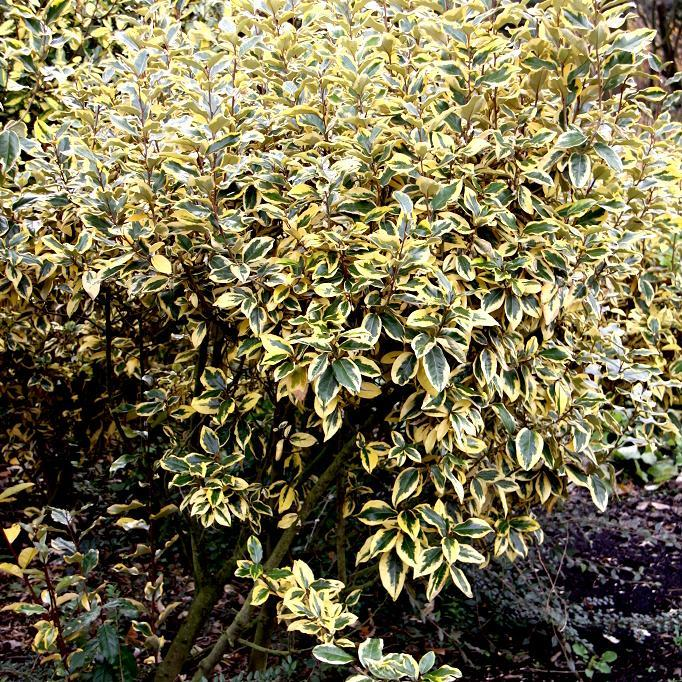 Arbustes de haie ou de massif Elaeagnus x ebbingei 'Gilt Edge'