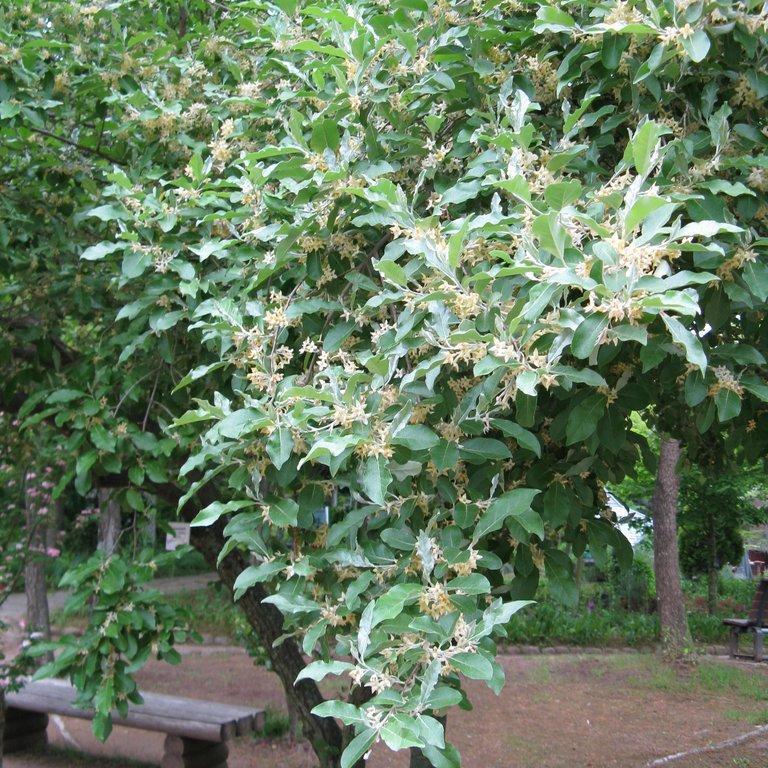 Petits arbres Elaeagnus umbellata